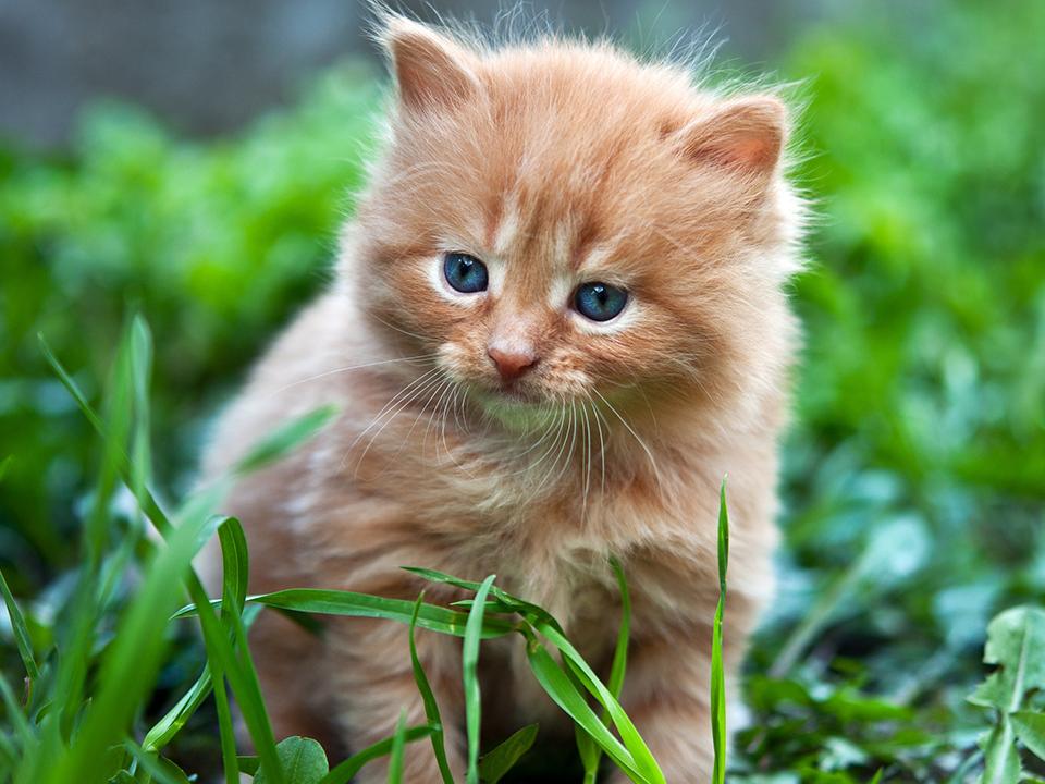 Healthy Ginger Kitten